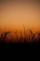 Silhouette of reeds on the beach at sunset, Miami Beach, Florida, USA