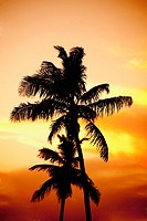 Silhouette of palm trees on the beach at sunset, Miami Beach, Florida, USA