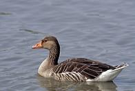 Goose, bird, animal, Greylag Goose, Anser anser, Anatidae, Oostvaarder Plassen, the Netherlands