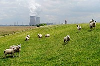 Sheep in a meadow with a power plant in the background. Phtographed in Hulst, Netherlands, in May.
