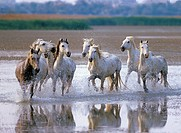 Camargue horses _ running in water