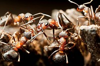 slave_making blood red ants / Formica sanguinea