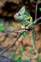 Vieled Chameleon Chamaeleo calyptratus is native to Africa