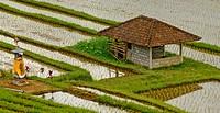 Reisfelder_ Bali _ Indonesien