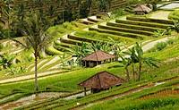 Reisfelder _ Bali _ Indonesien