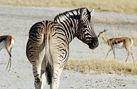 plains zebra, Equus quagga, from behind