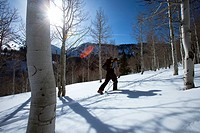 One man skiing / hiking through aspen trees on a blue sky day.