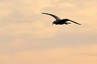 A seagull at sunset as silhouette, Sylt, Germany