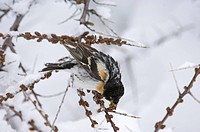 Brambling Fringilla montifringilla adult male, feeding on seeds in snow, on migration, Great Caucasus, Caucasus Mountains, Georgia, april