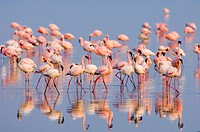 Lesser Flamingo Phoenicopterus minor adults and immatures, flock in water, Lake Nakuru, Great Rift Valley, Kenya