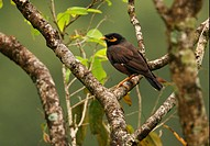 Common Mynah Acridotheres tristis melanosturnus endemic race, adult, perched on branch, Sri Lanka, december