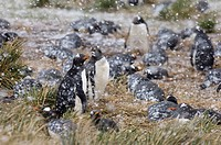 Gentoo Penguin Pygoscelis papua adults, colony sitting on nests during blizzard, Sea Lion Island, Falkland Islands, november