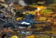 Oriental Magpie_robin Copsychus saularis erimelas adult female, bathing in forest pool, Kaeng Krachan N P , Thailand, february