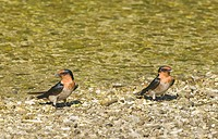 Pacific Swallow Hirundo tahitica two adults, standing on gravel at edge of water, Cebu Island, Philippines
