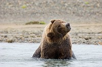 Grizzly Bear Ursus arctos horribilis adult, bathing, shaking water from fur, Katmai N P , Alaska, U S A , august