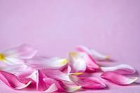 Blütenblätter Tulpen