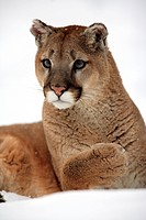 Puma Felis concolor adult, close_up of head and front paw, resting in snow, Montana, U S A , winter captive