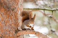 Eurasian Red Squirrel Sciurus vulgaris adult, sitting on snow covered conifer branch, Finland, march