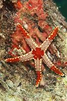 Candy_cane Starfish Fromia monilis adult, on reef, Sipadan Island, Sabah, Borneo, Malaysia