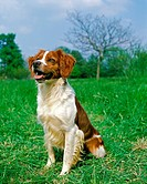 Brittany Spaniel, Adult sitting on Grass