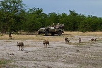 Tourist watching Hunting dog pack Lycaon pictus is a large canid found only in Africa, especially in savannas and other lightly wooded areas It is com...