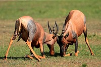 Topis: during the rutting season, males fight fiercely for possession of females, Maasai Mara National Reserve, Kenya
