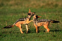 The adult Black Backed jackals have gone to look for food leaving behind 4 pups  The pups start playing simple but energetic games mainly involving bi...