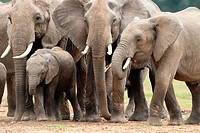 Elephant Calves can easily slip between the adult legs to find a place for themselves  Adult elephants can consume upto 200 litres of water in dry wea...