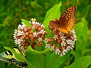 two different butterflies on milkweed flowers