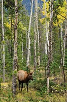 Canada, Alberta, Elk in jasper national park