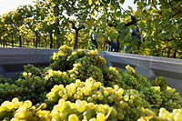 Austria, Lower Austria, Mostviertel, Wachau, Arnsdorf, Grapes harvest in vineyard