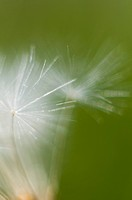 Common dandelion, close up
