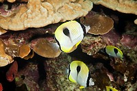 Hawaii, Maui, Molokini, A small school of Teardrop Butterflyfish Hemitaurichthys Unimaculatus Swim through coral.