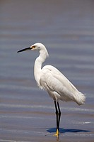 Snowy Egret, Egretta thula, standing on beach, Ilha do Mel, Brazil