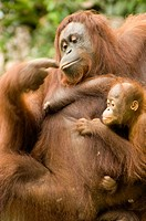 Orang -Hutan of Borneo Sarawak Malaysia