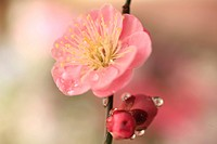 Plum blossoms, close_up