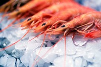 shrimps lined up in a row on ice cubes