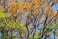 Yellow trumpet tree, Tabebuia aurea, Estancia Mimosa, Bonito, Mato Grosso do Sul, Brazil