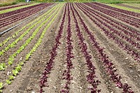 Germany, Bavaria, Reichenau, lettuce crops growing on farm