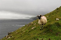 Republic of Ireland, Dingle Peninsula, Blasket Islands, sheep standing on steep hillside with Dunmore Head in background