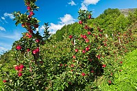 Red apples on three Hardanger Norway