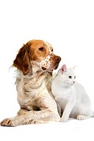 French Spaniel Dog Cinnamon Color with White Domestic Cat against White Background