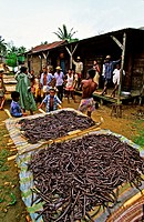 Africa, Madagascar, Andapa, vanilla cultivation, cultivation and preparation of vanilla require, for a richly aromatic spice, long and attentive care ...