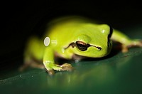 Stock photo of a European Tree Frog