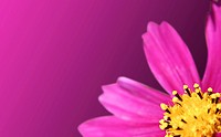 Macro picture of pink daisy_gerbera.