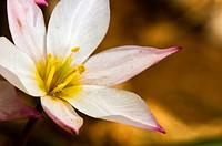 Cretan Tulip- Tulipa cretica, an endemic plant of Crete