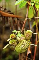 Nepenthes pitcher plant. Semengoh Wildlife Centre, Kuching, Sarawak, Malaysia.