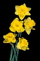 Bunch of golden daffodils Species Narcissus on a black background