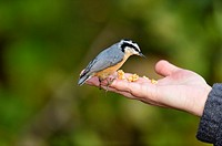 Red-breasted nuthatch coming to a human hand for food