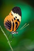 Longwing Butterfly Captive - La Selva Jungle Lodge, Amazon Region, Ecuador